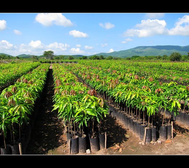 vivero de plantas de mango en el rosario sinaloa a photo