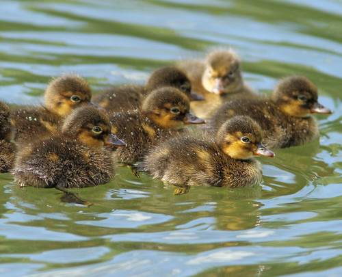 Lesser Scaup Duckings