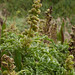 Small photo of Silver burr ragweed (Ambrosia chamissonis)