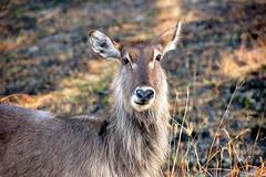 animal, mammal, waterbuck, fauna, wildlife,