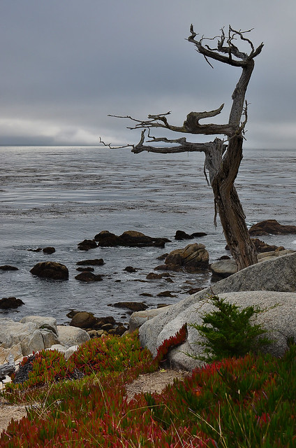The Ghost Tree [Nikon D7000][Nikon 35mm F1.8 G][17 mile drive][Monterey]