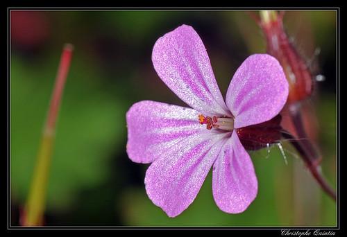Herbe à Robert (Geranium robertianum)