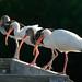 Four White Ibis in a Row by Photomatt28