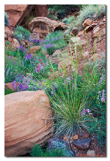 Canyon Wildflowers