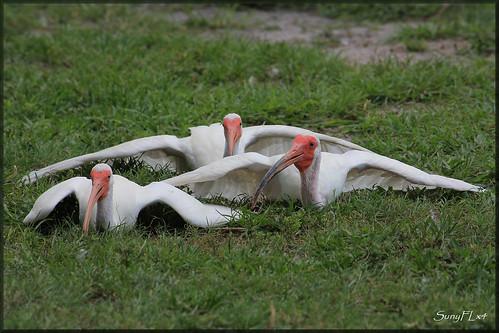 white nature birds wildlife ibis lakeland lakemorton fantasticnature bestofanimals mothernaturesgreenearth onlythebestofnature