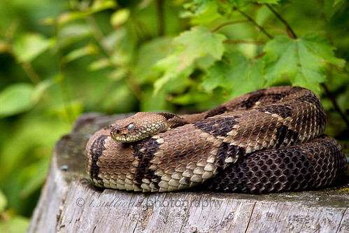 Timber Rattlesnake, Shenandoah National Park