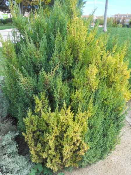 Juniperus chinensis 'Pyramidalis' v 1