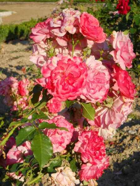 Rosa floribunda v 1