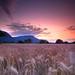 Field of corn by Romain Cassagne