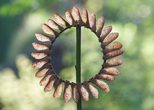 Sycamore Seed Sun