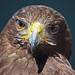 Inquisitive Golden Eagle