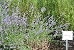hyssopus(0.0), prairie(0.0), rosemary(0.0), lavandula stoechas(0.0), shrub(1.0), flower(1.0), english lavender(1.0), plant(1.0), lavender(1.0), lavender(1.0), herb(1.0), wildflower(1.0), flora(1.0), meadow(1.0),