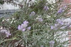shrub, flower, plant, breckland thyme, subshrub, herb, wildflower, flora,