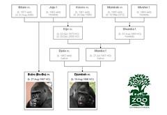 Gorilla Family - Sóstó