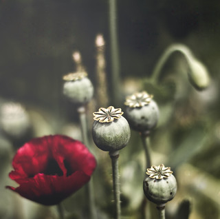 Poppies in Wonderland