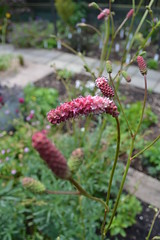 SANGUISORBA 'Thistleton Gem'