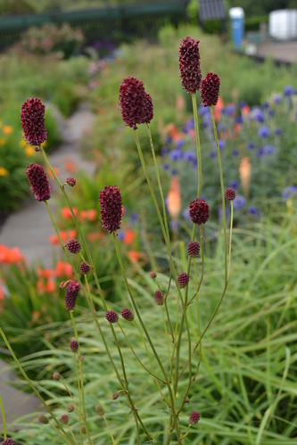 SANGUISORBA 'Blacksmith's Burgundy'