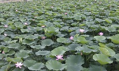 annual plant(1.0), flower(1.0), plant(1.0), wildflower(1.0), flora(1.0), sacred lotus(1.0), lotus(1.0), proteales(1.0), aquatic plant(1.0),