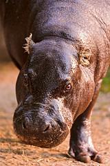 Cute pygmy Hippopotamus