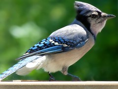 animal, wing, fauna, finch, bluebird, blue jay, beak, bird, wildlife,