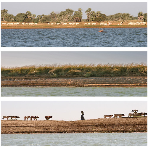 africa grass niger river triptych cattle sheep westafrica mali riverbank livestock fav10