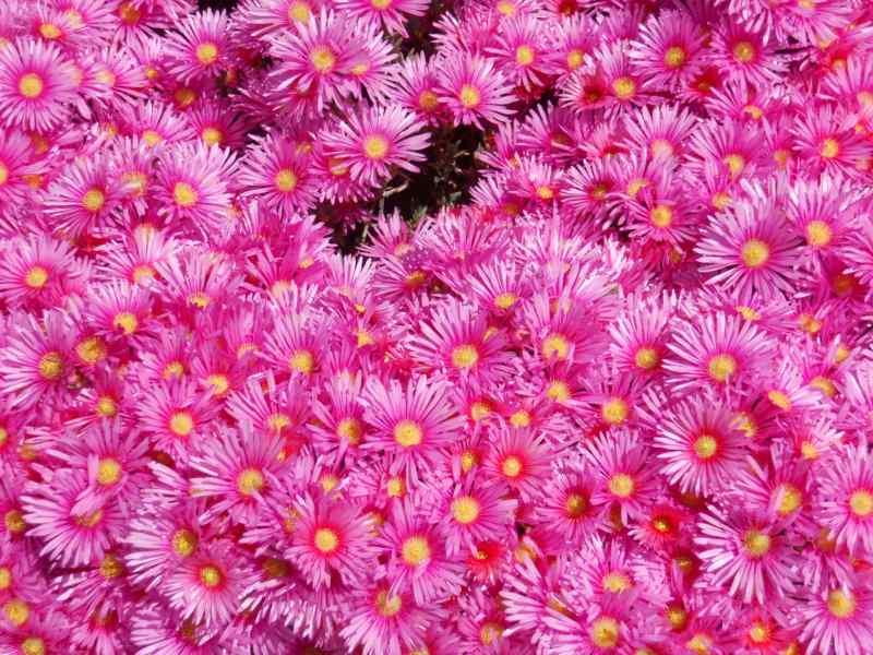 Lampranthus spectabilis 4