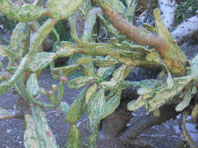 Opuntia monacantha 'Variegata' 2