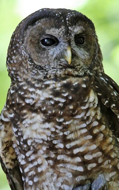 Northern Spotted Owl at Northwest Trek   Flickr - Photo ...