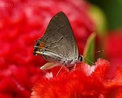 Gray Hairstreak on Celosia cristata