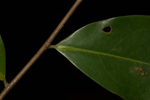 annonaceae xylopia xylopiaaethiopica harris9494 taxonomy:binomial=xylopiaaethiopica