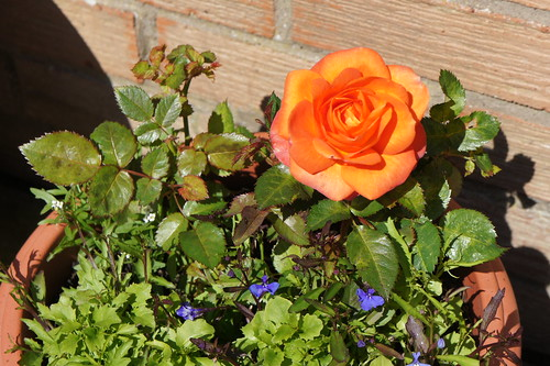 Rose in our patio in Berwick upon Tweed