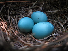 nest, macro photography, food, easter egg, egg, close-up, blue,