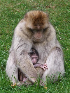 Barbary Macaque with a baby