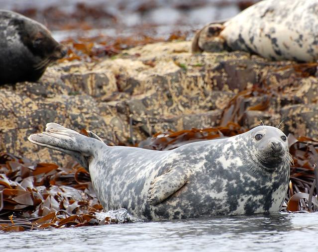Foca gris en las islas de Farne. Northumberland, Inglaterra