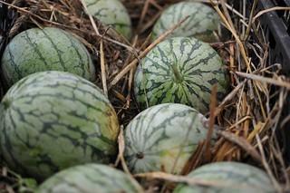 KWTCSA Watermelons
