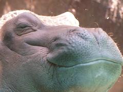 Happy Hippo 7623