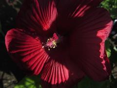 Hibiscus moscheutos ´Splash Pinot Noir´, Perennial Hibiscus