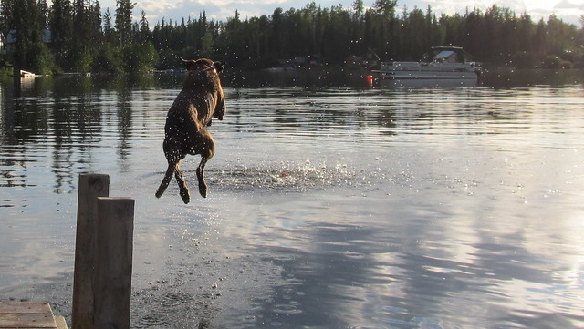 cariboo chasing the ball into deka lake