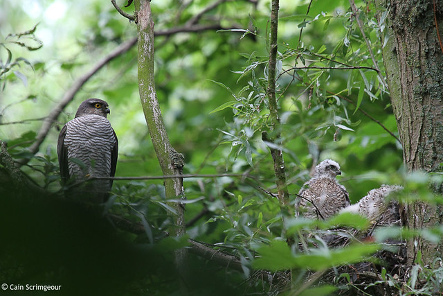 Sparrowhawk with chicks