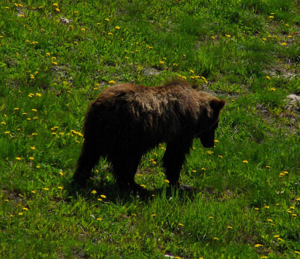 ペイトレイクに生息するクマ