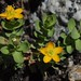Bog St. John's-wort - Photo (c) Tom Hilton, some rights reserved (CC BY)