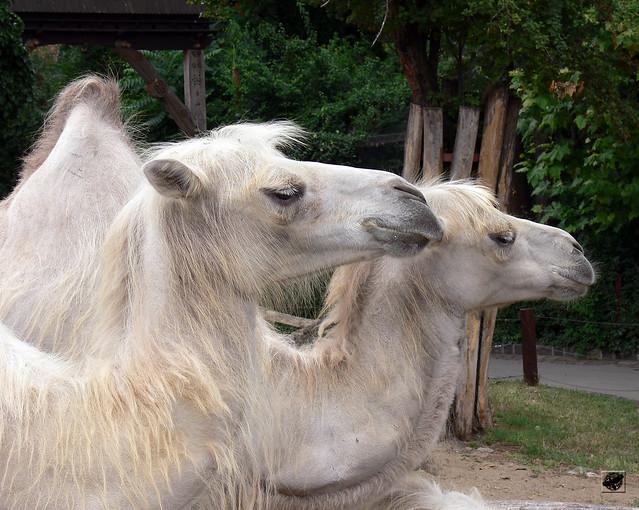 Teve - Camel