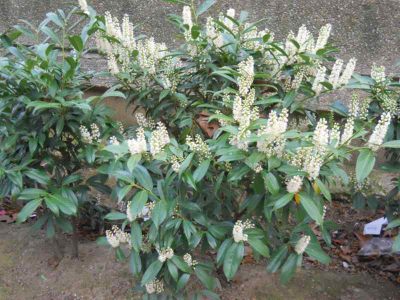 Prunus laurocerasus 'Otto Luyken' 3
