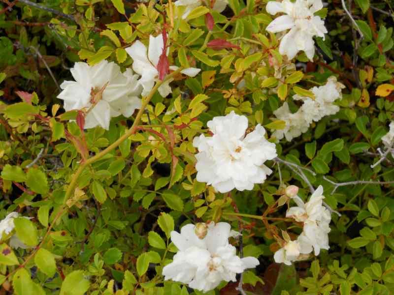 Rosa 'White Fairy' 1