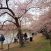 Cherry Blossoms 2011-0014