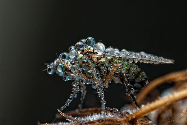 Jewel fly