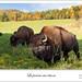 La prairie aux bisons by Jacquin-Qc