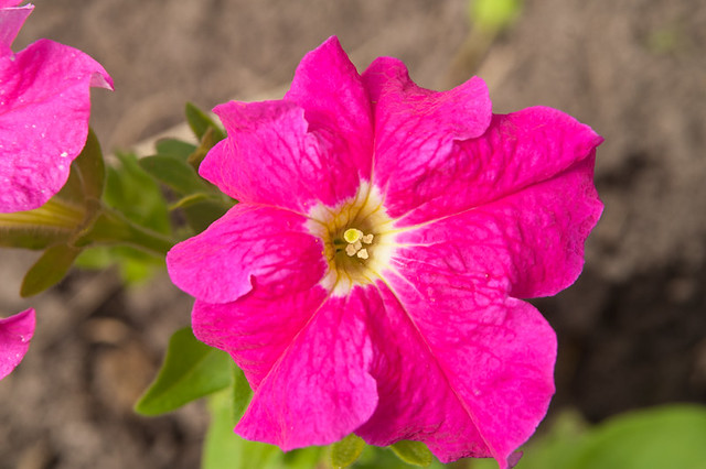 Blooming petunia * Цветущая петуния