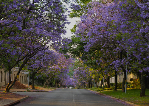 Street lined with Jacarandas