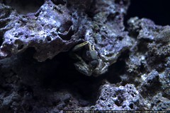 emerald crab    MG 1978
